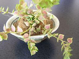 こけ玉、ミニ盆栽、多肉のミニ寄植え・・・鉢の受け皿。_e0063296_16102316.jpg