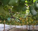 ぶどう、今年最後の収穫です。_d0026905_19443871.jpg