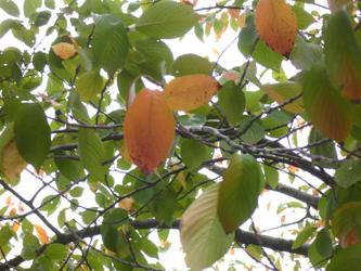 秋の「桜」_c0069048_1426107.jpg