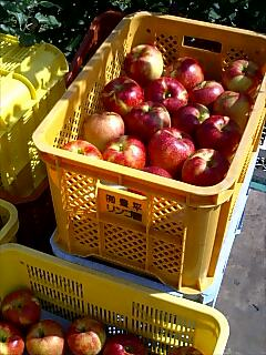 きれいなジョナゴールドの収穫、ひさびさに嬉しい楽しい仕事でした。_d0010039_13351115.jpg