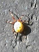 散歩をしていて見たこともないクモを発見しました_b0025008_2224456.jpg