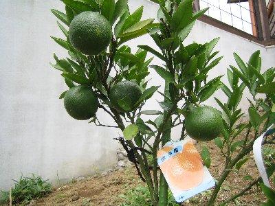 草むしり、しんどいけど果樹OK_c0038619_22425453.jpg