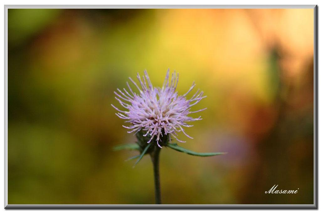 秋のアザミ_e0003177_1648398.jpg