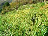 池川の焼畑 蕎麦収穫後の状況_e0002820_2293773.jpg