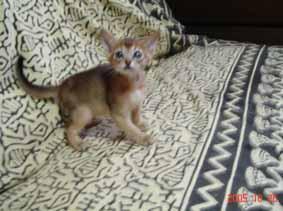 アビシニアン5週目の子猫_e0033609_19392868.jpg