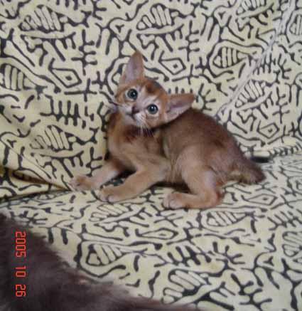 アビシニアン5週目の子猫_e0033609_1940530.jpg