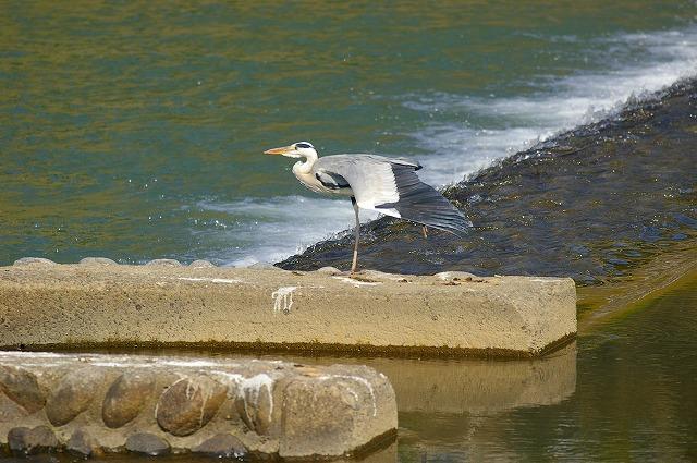 水鳥の群れる川~犀川_d0043136_21365549.jpg