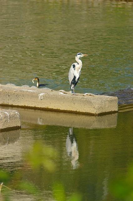 水鳥の群れる川~犀川_d0043136_21372086.jpg