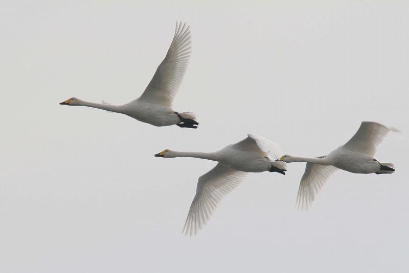 これからこちらは白鳥だべさ~_a0039860_21104461.jpg
