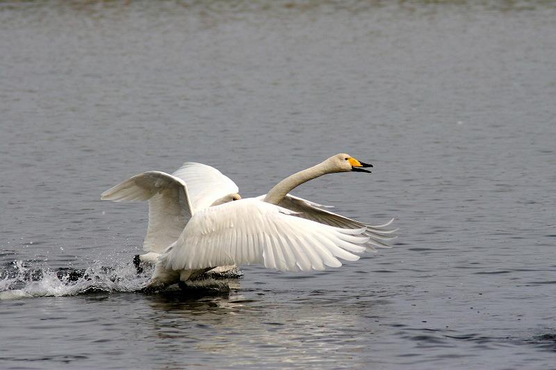 これからこちらは白鳥だべさ~_a0039860_21112161.jpg