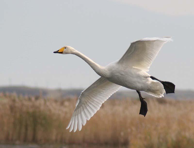 これからこちらは白鳥だべさ~_a0039860_21112838.jpg