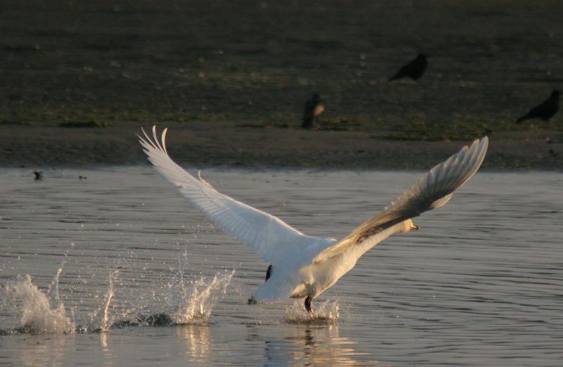 これからこちらは白鳥だべさ~_a0039860_21203711.jpg