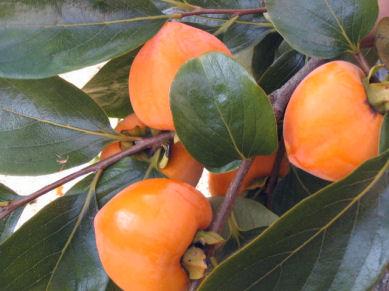 今日は、柿の収穫_e0092612_11172166.jpg
