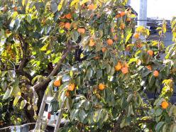 今日は、柿の収穫_e0092612_1118126.jpg