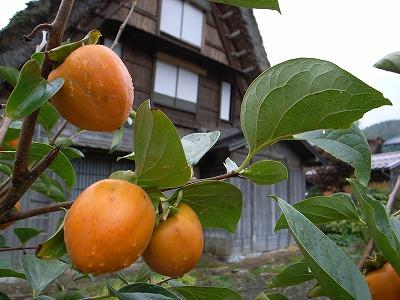 柿くへば 雨もけぶる 白川郷_e0082981_12144935.jpg