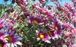 菊の花がいっぱい咲いてます。_d0026905_2025234.jpg