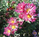 菊の花がいっぱい咲いてます。_d0026905_2031495.jpg