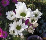 菊の花がいっぱい咲いてます。_d0026905_2035944.jpg