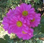 菊の花がいっぱい咲いてます。_d0026905_2051381.jpg