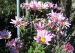 菊の花がいっぱい咲いてます。_d0026905_206187.jpg