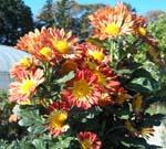 菊の花がいっぱい咲いてます。_d0026905_2075526.jpg