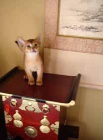 アビシニアン子猫6週目_e0033609_15112281.jpg