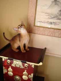 アビシニアン子猫6週目_e0033609_1511441.jpg