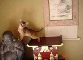 アビシニアン子猫6週目_e0033609_1512386.jpg