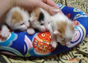 ターキッシュバン子猫1週目_e0033609_1525581.jpg