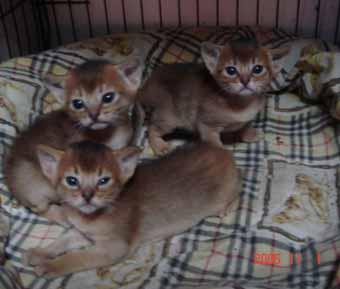 アビシニアン子猫3週目_e0033609_1558078.jpg