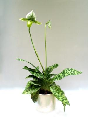 今年もパフィオが開花!温室の特等席へ昇格。_e0010418_17364620.jpg