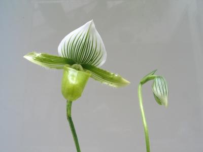 今年もパフィオが開花!温室の特等席へ昇格。_e0010418_17441493.jpg