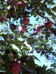 La saison des pommes!_d0028589_22351199.jpg