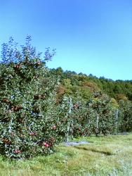 La saison des pommes!_d0028589_22392272.jpg