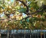 紅葉の季節、ぶどうのハウスも紅葉してます。_d0026905_13271055.jpg