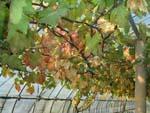 紅葉の季節、ぶどうのハウスも紅葉してます。_d0026905_20445941.jpg