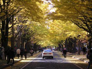 日本一のイチョウ並木_c0025115_16151712.jpg