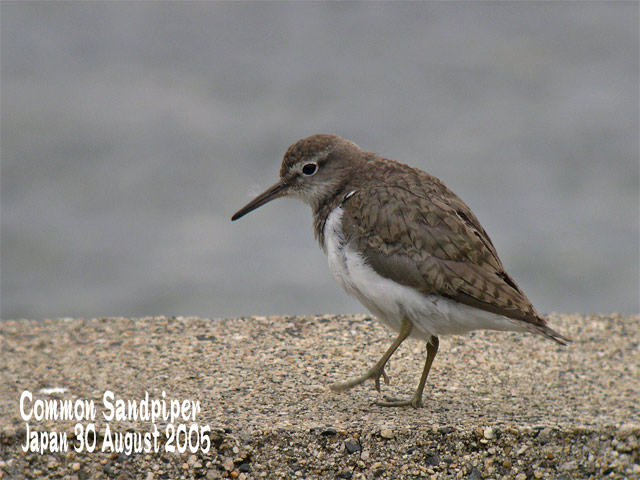 イソシギ          Common Sandpiper_c0071489_0101180.jpg