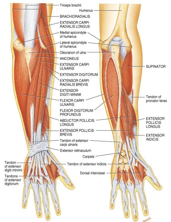 principles of human anatomy 13th edition pdf