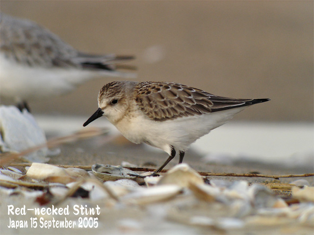 トウネン2 Red-necked Stint 2_c0071489_23244984.jpg