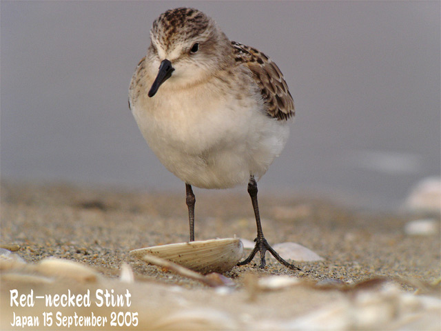 トウネン2 Red-necked Stint 2_c0071489_23245864.jpg