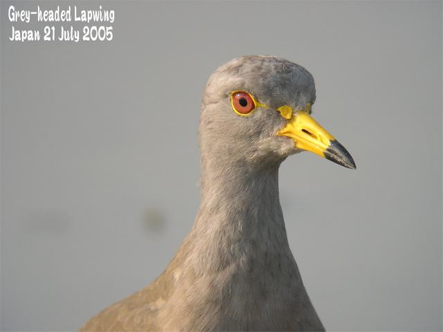 ケリ   Grey-headed Lapwing_c0071489_2371494.jpg