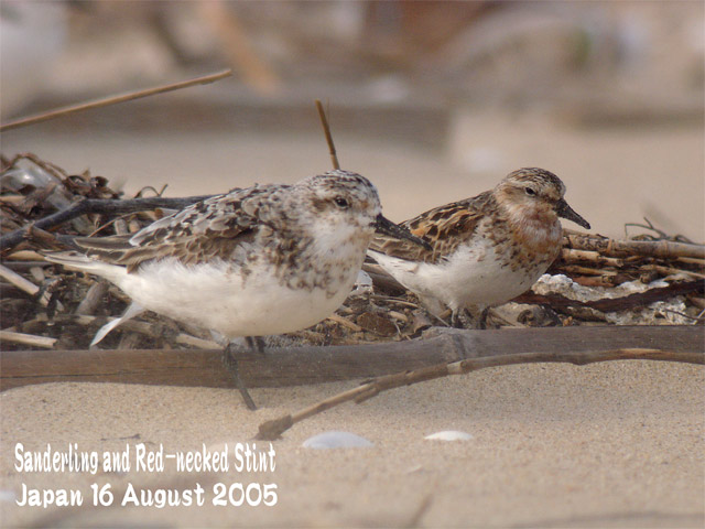 トウネン Red-necked stint_c0071489_2361512.jpg