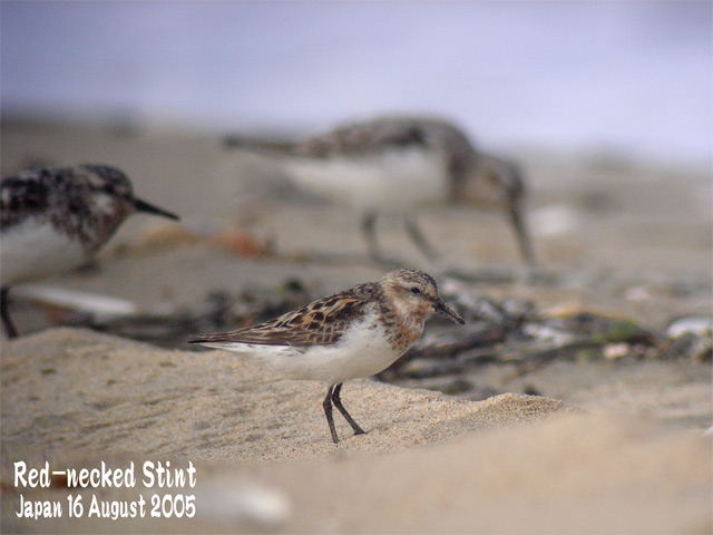 トウネン Red-necked stint_c0071489_236418.jpg