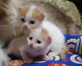 ターキッシュバン子猫3週目_e0033609_14262947.jpg