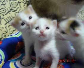ターキッシュバン子猫3週目_e0033609_14275681.jpg