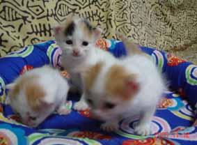 ターキッシュバン子猫3週目_e0033609_14284860.jpg