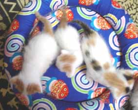 ターキッシュバン子猫3週目_e0033609_14352130.jpg