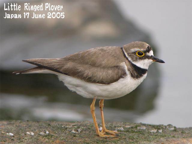 コチドリ   Little Ringed Plover_c0071489_0215767.jpg