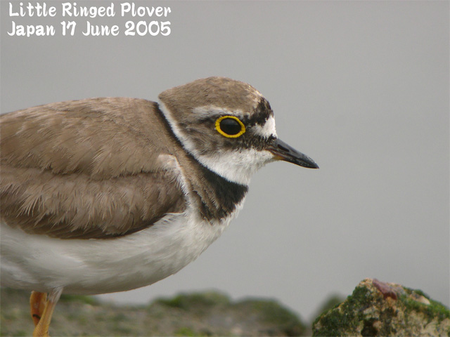 コチドリ   Little Ringed Plover_c0071489_022814.jpg